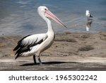 Australia Pelican  Pelecanus...