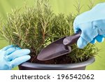 planting rosemary herb into pot ...   Shutterstock . vector #196542062