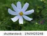 Cosmos Flower In Summer Garden. ...