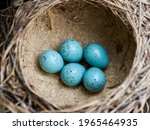 Five Blue Eggs Of Song Thrush ...