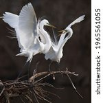 Great White Egrets Sparring...