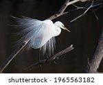 Male Great White Egret...
