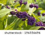 Small photo of photo of an American beautyberry taken in Oktober 2013 in Orlando, Florida, USA