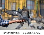 Two Pigeons Landing On Hand Of...