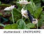 Great Mormon Butterfly  Paplio...