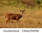The Chital  Axis Axis   Also...