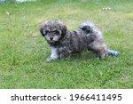 A Gray Glen Of Imaal Terrier...