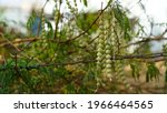 Flowering Buds Legumes Of...