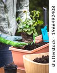 Gardening In Spring. Planting...