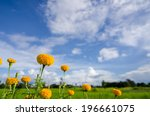 marigolds or tagetes erecta... | Shutterstock . vector #196661075