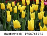 Small photo of Lily-tulips flower, Flashback with yellow petals with green branch and leaves growth in spring garden nature, sweet romantic and freshness flower, concept nature texture background.