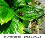 european common wasp posing on...   Shutterstock . vector #1966829125