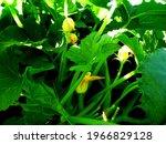 zucchini flowers on a bush in a ...   Shutterstock . vector #1966829128
