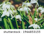 Close up of common snowdrops in ...