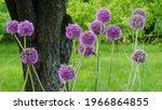 Ornamental Bulb Allium  Large...