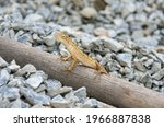 Small photo of Is a reptile in the sub-rank Lacertilia or Sauria in the rank Squamata or rank lizards and snakes. The animals in this ranking include snakes in the sub-ranking Serpentes because they are ranked in th