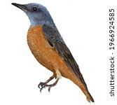The Common Rock Thrush Bird ...