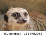Meerkat Or Suricate In A Zoo