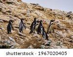 Humboldt Penguins  Spheniscus...