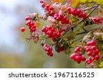 Viburnum Bush With Red Berries...