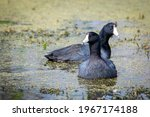 American Coot Duck Swimming In...