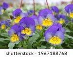Purple Flowers Of Viola  Genus...