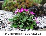 Erodium Plant
