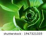 Macro Of Green Cactus Or...