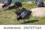 An American Coot Foraging. Duck ...