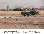 Feral Dogs In Saudi Village