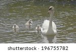 Beautiful Swan And Babies