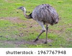 Greater rhea, species of flightless bird native to eastern South America. Other names for the greater rhea include the grey, common, or American rhea, nandu or ema walking on the grass, close up
