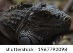 Close Up Portrait Of A Iguana ...