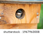 A tree swallow peeks out of its ...