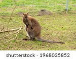 Beautiful Young Kangaroo In A...