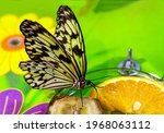 Paper Kite Butterfly   Latin...