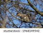 Eastern Grey Squirrel  Sciurus...