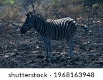 Zebra Standing On The Burnt Out ...