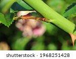 Leaf Petiole On A Green Rose...