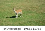 Deer With White Dots Walking In ...
