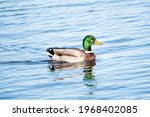 Wild Duck Swimming In A Lake