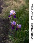 Purple Two Toned Bearded Iris