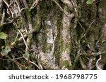 Detail Of English Ivy  Hedera...