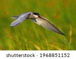 Common Tern Landing In Wetland...
