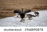 Canada Goose Spreading Wings...