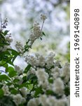 Small photo of Deutzia scabra fuzzy pride of rochester white flowers in bloom, crenate flowering plants, shrub branches with buds and green leaves, Candidissima cultivar