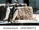 The Humboldt Penguin ...