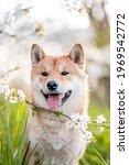 Adorable Shiba Inu Dog Breed In ...