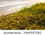 Small photo of Many views of Golden Shower Tree wilted on the ground, mingled with green weed grass, close to agricultural land, rice fields that have been tilled.