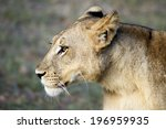 Profile Of Female Lion   Femal...